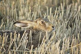 Living-with-Mammals-Brown-Hare-by-Robin-Hamilton - People's Trust for  Endangered Species