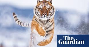 Tiger by Polly Clark review – passionate tale of the wild under ...