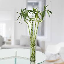 glass vase for bamboo plant