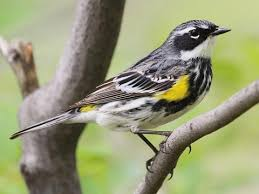 Yellow-rumped Warbler Identification, All About Birds, Cornell Lab of  Ornithology
