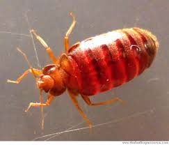 Bedbugs bounce back: Outbreaks in all 50 states - SFGate