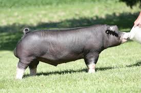 Swine Genetics International | View Boar