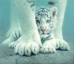 white tiger baby other s