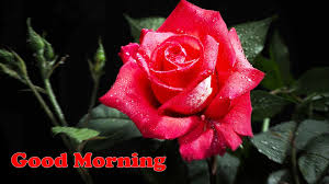 good morning single red roses hd
