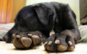 trim your dog s black nails safely
