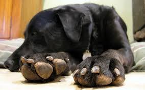 trim your dog s black nails safely