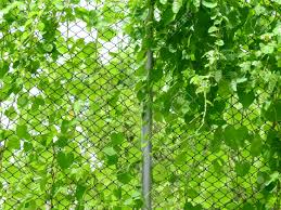 Green Ivy Plant On Wire Mesh Of Fence Stock Photo Picture And Royalty Free Image Image 84960928