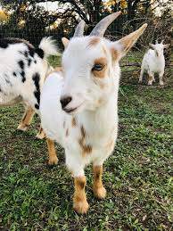 Nigerian Dwarf Goat - 8 months old : goats