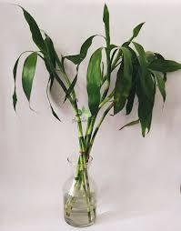 lucky bamboo plant dracaena