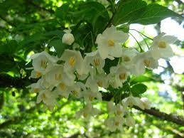 styrax japan s lovely snowbell trees