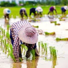Xuất khẩu gạo: Covid-19 có cản đường Việt Nam qua mặt Thái Lan?