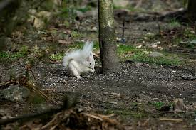 Rare White Squirrel Spotted Scavenging For Nuts In Garden Shropshire Star