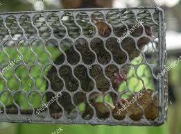 Rat Trapped Inside Cage During Antirat Campaign Editorial Stock Photo Stock Image Shutterstock