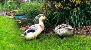 best bedding for your duck coop or run