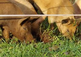Raising Pigs Part 4 The Permaculture Research Institute