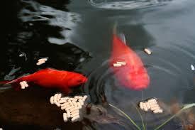 Comida para peces de estanque | Todo sobre su correcta alimentación