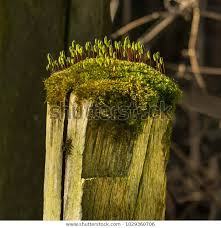 Rustic Fence Post Moss Growing On Stock Image Download Now
