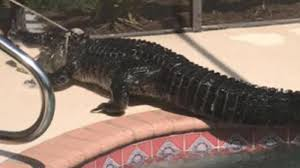 Watch Alligator Crosses Over Fence In Florida