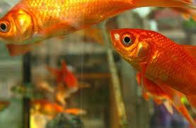 Mimpi Ikan Mas Menurut Erek Erek Mimpi Angka Jitu Pool303