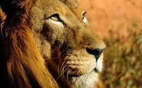 صور أسد اجمل صور الاسد ملك الغابة Photos Lion