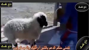 اقوى مقاطع مضحكة جدا لخروف العيد Funny Sheep Youtube
