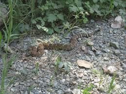 Warmer Weather Brings Out Rattlesnakes In Northern California Capradio Org