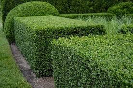 Green Velvet Boxwood Plantingtree