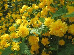 ورود صفراء جميلة