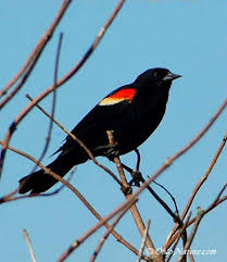 Red-winged Blackbird (Agelaius phoeniceus) World birds online ...