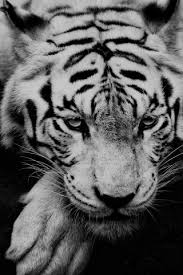 white siberian tiger iphone 6 plus hd
