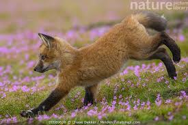 picture library red fox vulpes vulpes