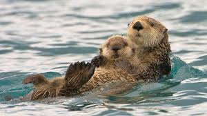 sea otter wallpapers top free sea