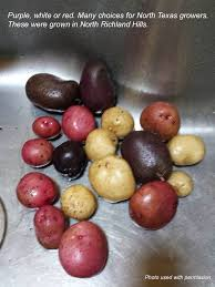 growing potatoes in north texas