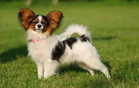 DNA testing for the Papillon dog breed ...