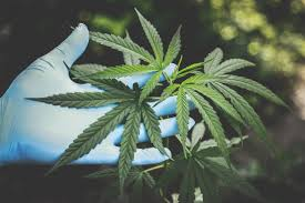 sativa group significant progress in 2019