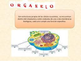 Resultado de imagen de Organelas