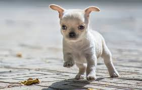 wallpaper baby puppy chihuahua images