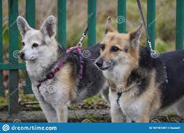 Two Dogs On With Collars And Leashes Tied To A Green Fence Protection Of The Territory Or Waiting For The Owner Stock Image Image Of Chasing Sniffing 167187457