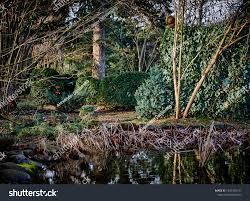 Wall Ordinary Ivy English Ivyamong Evergreen Stock Photo Edit Now 1297365121