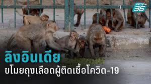 ลิงในอินเดียขโมยตัวอย่างเลือดผู้ติดเชื้อโควิด-19 : PPTVHD36