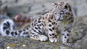 baby leopard wallpapers top free baby