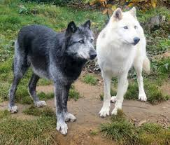 Image result for white wolf