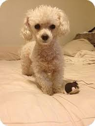 fort worth tx poodle toy or tea cup