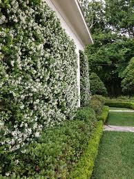 Star Jasmine O Un Manto De Maria Ver Las Plantas A Sembrar En Los Primeros Planos Backyard Landscaping Designs Privacy Landscaping Backyard Landscaping