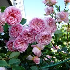 Pink - nostalgia rose - intensive fragrance - Sonia Rykiel - Rose Shopping  Online - - Order Roses Online » Romantic Roses - PharmaRosa®
