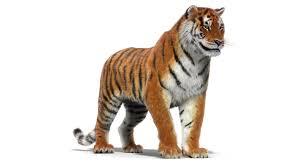 Tiger 3D Model Rigged
