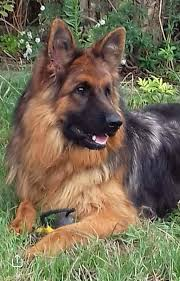 akc registered german shepherd