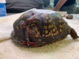 Old Bras Can Be Used To Rescue Injured Turtles Carolina Waterfowl Rescue Says Abc7 San Francisco