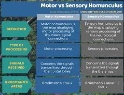 motor and sensory homunculus