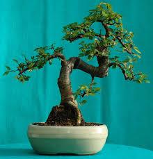 best indoor bonsai trees bonsai tree